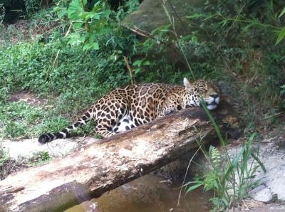 onça no Zoo de Gramado