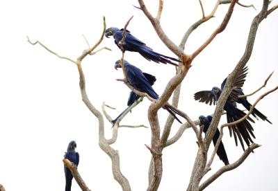 Arara Azul no Pantanal