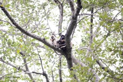 Bugio no Pantanal